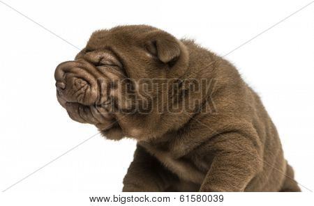 Close-up of Shar Pei puppy making a face, isolated on white