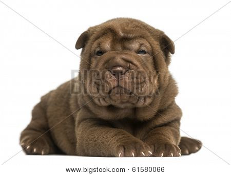 Shar Pei puppy lying down, looking at the camera, isolated on white