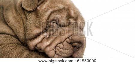 Close-up of a Shar Pei puppy sleeping, isolated on white