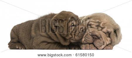 Shar Pei puppies lying, cuddling, isolated on white