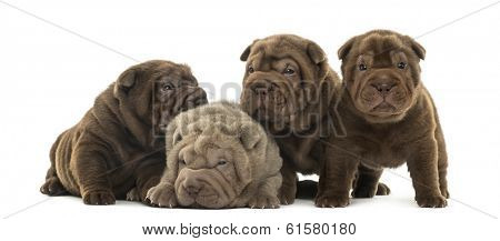 Front view of a Shar Pei puppies being together, isolated on white