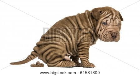 Side view of a Shar Pei puppy defecating, looking at the camera, isolated on white