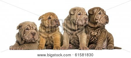 Front view of Shar Pei puppies sitting in a row, looking away, isolated on white