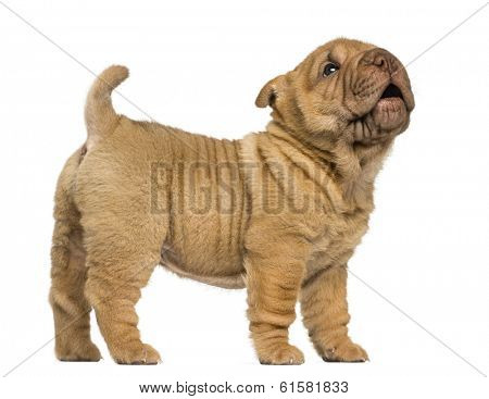 Side view of a Shar Pei puppy standing, barking, isolated on white