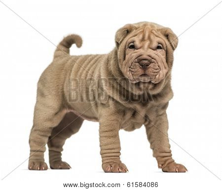 Shar Pei puppy standing, looking at the camera, isolated on white