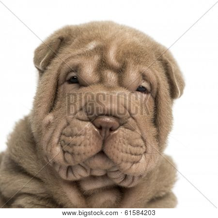 Close-up of a Shar Pei puppy looking at the camera, isolated on white