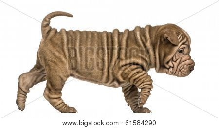 Side view of a Shar Pei puppy walking, looking down, isolated on white
