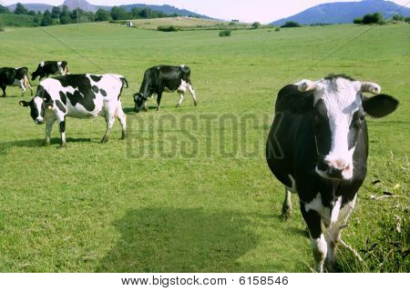 Cows On The Meadow Fresian Cattle