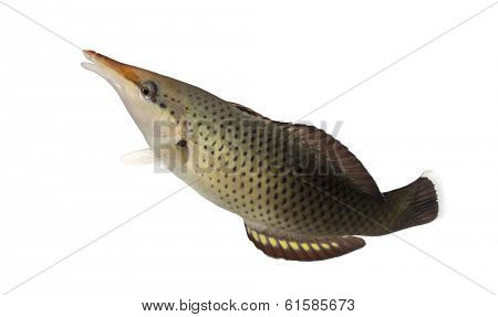 Side view of a Bird wrasse female swimming up, Gomphosus varius, isolated on white