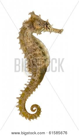 Side view of a Common Seahorse, Hippocampus kuda, isolated on white