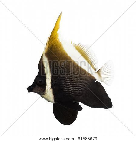 Side view of an Horned Bannerfish, Heniochus varius, isolated on white