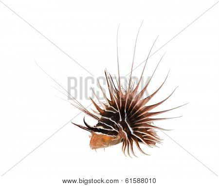 Broadbarred firefish viewed from up high, Pterois antennata, isolated on white