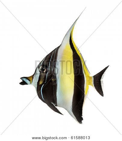 Side view of a Pennant Coralfish, Heniochus acuminatus, isolated on white