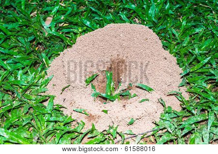Anthill On Green Grass