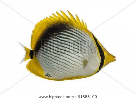Side view of a Blackback Butterflyfish, Chaetodon melannotus, isolated on white