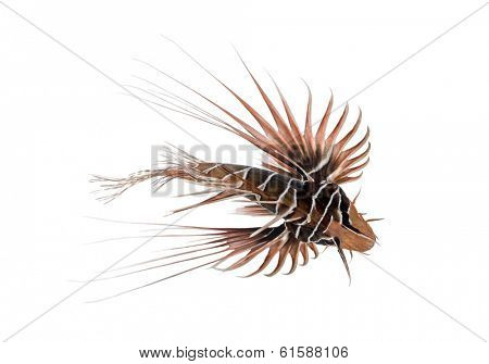 View from up high of a Broadbarred firefish, Pterois antennata, isolated on white