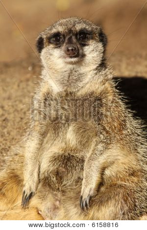 Meerkat sitting and looking at you