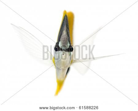 Front view of a Longnose Butterflyfish, Forcipiger longirostris, isolated on white