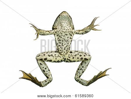 Front view of an Edible Frog swimming up to the surface, Pelophylax kl. esculentus, isolated on white