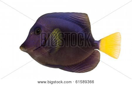 Purple tang, Zebrasoma xanthurum, isolated on white