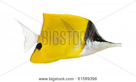 Side view of a Longnose Butterflyfish, Forcipiger longirostris, isolated on white