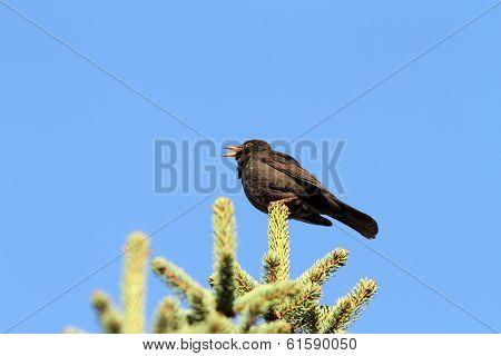 Male Turdus Merula Singing