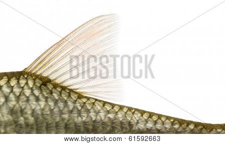 Side view of a Common roach' dorsal fin, Rutilus rutilus, isolated on white