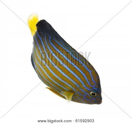 Northern Angelfish swimming down, Chaetodontoplus septentrionalis, isolated on white