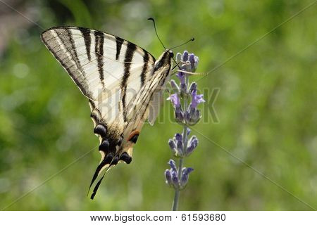 Scarce Swallowtail On The Branch Of Lavender