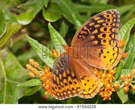 Great Spangled Fritillary feeding on orange Asclepias tuberosa flower cluster