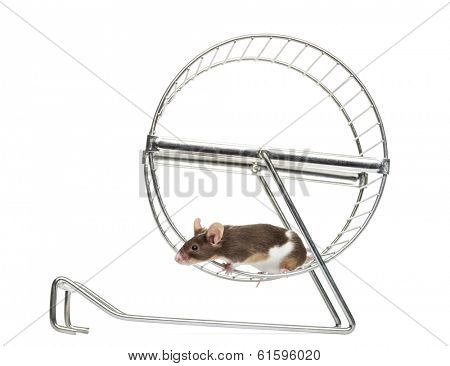 Side view of a Common house mouse running in a wheel, Mus musculus, isolated on white