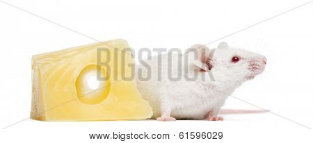 Albino white mouse next to a piece of cheese, Mus musculus, isolated on white