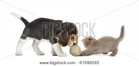 Beagle puppy and Highland fold kitten playing with a ball, isolated on white