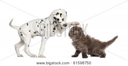 Dalmatian puppy and Highland fold kitten playing together, isolated on white