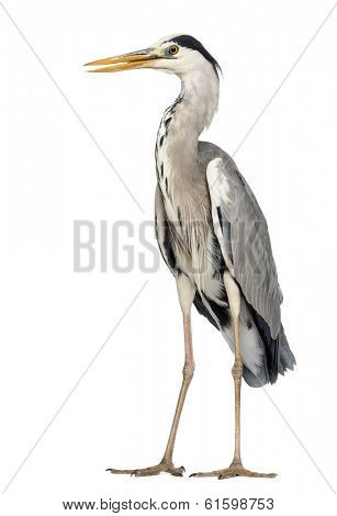 Grey Heron standing, beak opened, Ardea Cinerea, 5 years old, isolated on white