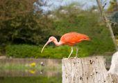image of scarlet ibis  - Scarlet ibis - JPG
