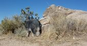 stock photo of pot bellied pig  - Pot bellied Pig sniffing around the weed in the Nevada Desert - JPG