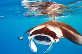 image of manta ray  - Manta ray floating underwater among plankton - JPG