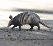 stock photo of armadillo  - Armadillo Crossing The Road In Florida - JPG