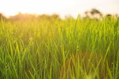 stock photo of meadows  - organic rice field with dew drops during sunset - JPG
