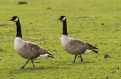 stock photo of canada goose  - A pair of canada geese walking on a grass field - JPG