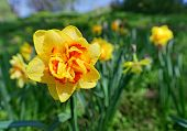 picture of narcissi  - Yellow narcissus flower closeup shot with shallow depth of field - JPG