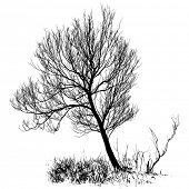 picture of willow  - Willow tree with bare branches - JPG