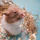 pic of gerbil  - hamster eating dry grass be smile happy - JPG