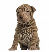 Shar Pei puppy sititng, isolated on white