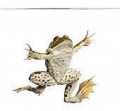 picture of edible  - Edible Frog viewed from below swimming up - JPG