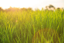 foto of food plant  - organic rice field with dew drops during sunset - JPG