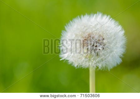 Blowball with a green background