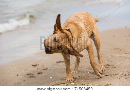 A Labrador Retriever Dog Shaking Itself Dry