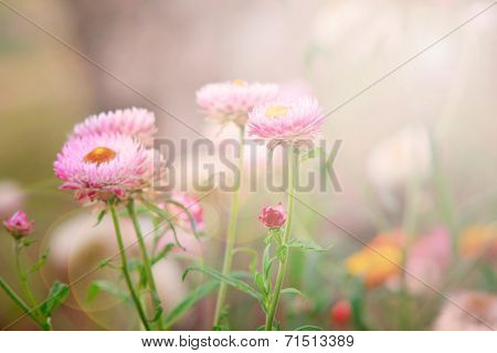 Dry straw flower or everlasting flower